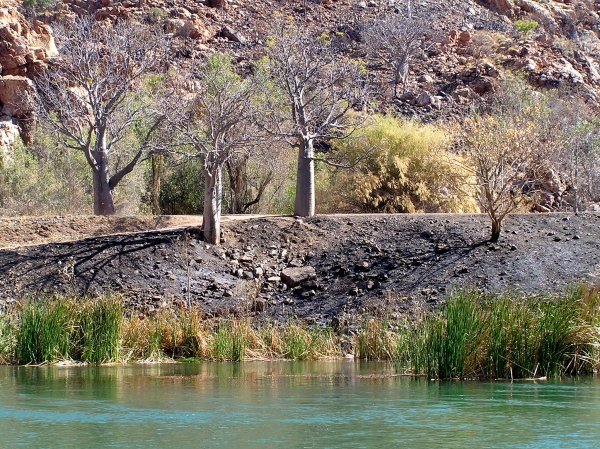 BOAB TREES ALONG THE ORD RIVER