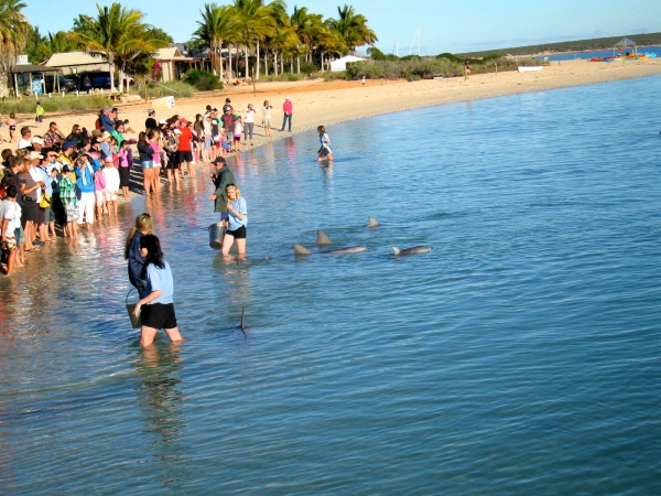 THE DOLPHINS HAVE COME INTO SHORE TO BE FED