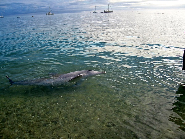 DOLPHIN COMING INTO SHORE TO BE FED