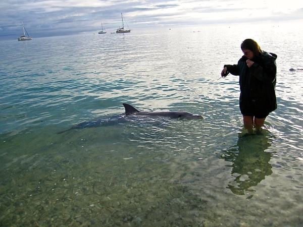 DOLPHIN BEING FED BY A VOLUNTEER