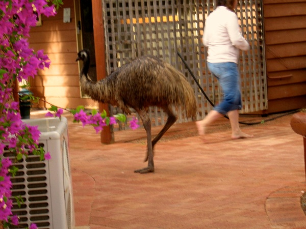 EMUS ARE ALSO SEEN AT MONKEY MIA