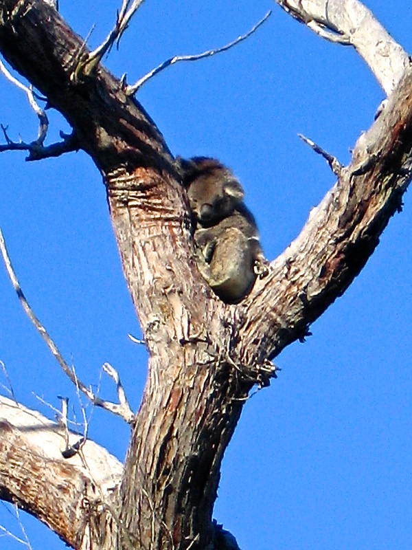 KOALAS ARE ALSO SEEN AT YANCHEP NATIONAL PARK