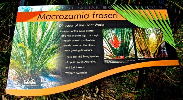 MACROZAMIA FRASERI