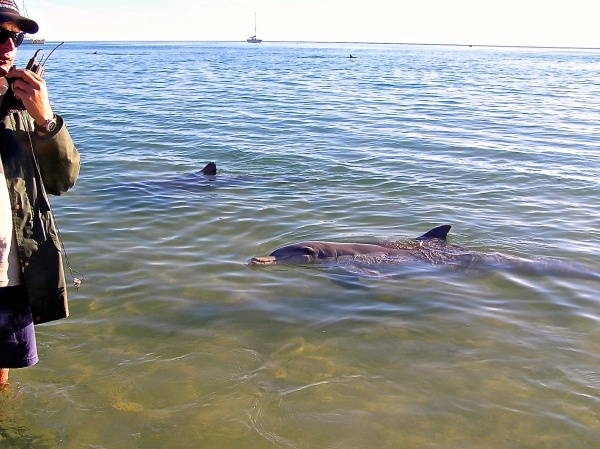 THESE DOLPHINS ARE USED TO THE PEOPLE COMING TO FEED THEM EVERY MORNING