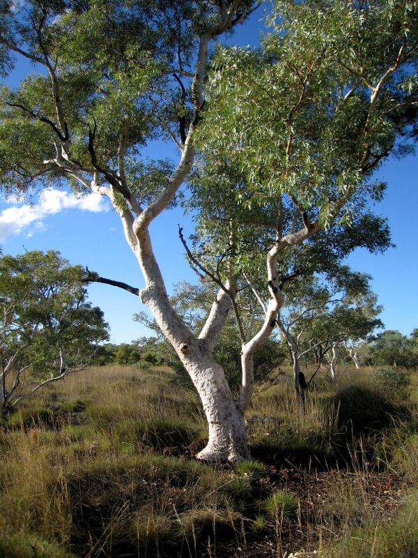 Snappy Gum (Eucalyptus leucophloia) Karijini National Park.