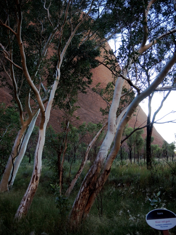 ULURU  -  RED RIVER GUMS (ACACIAS)