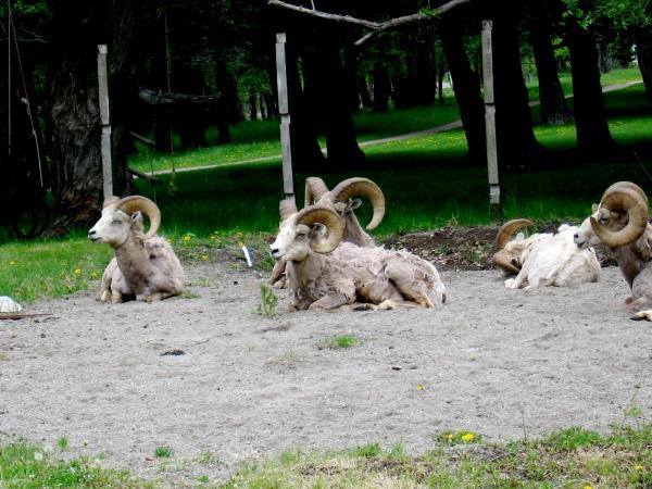 BIG HORN RAMS AT WATERTON NATIONAL PARK