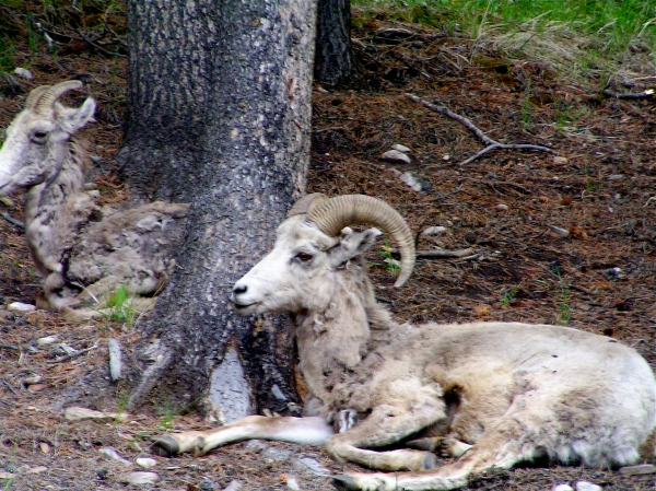 WILDLIFE AT JASPER, ALBERTA